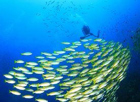 pic of school fish  - School of fish and scuba diver on underwater reef  - JPG