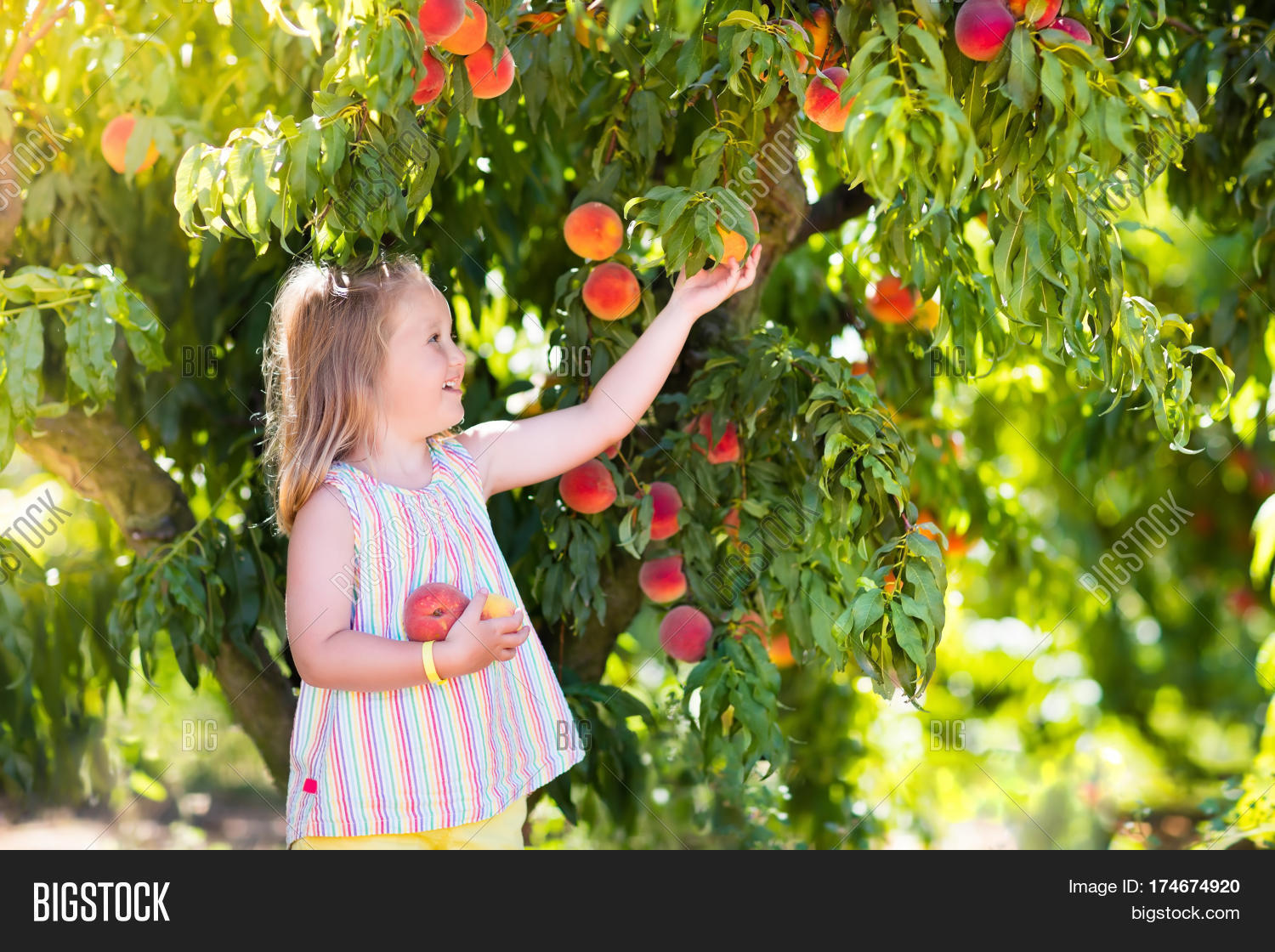lower peach tree single girls 1,553 best peach blossom images free stock photos download for commercial use in hd high resolution jpg images format peach blossom images, free stock photos, peach blossom images, peach blossom, peach blossom flower, peach blossoms flower images, peach blossom pictures, peach blossoms, peach blossoms flower, peach blossom tree.