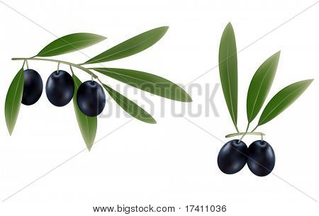 Photo-realistic vector illustration. Three branches of black olives.