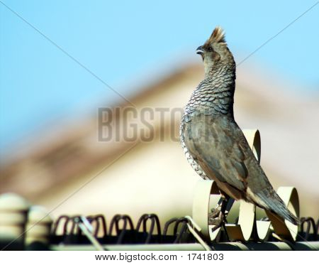 Scaledquail