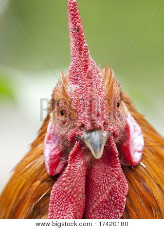 Funny Close Up Of A Red Rooster Over A Green Background