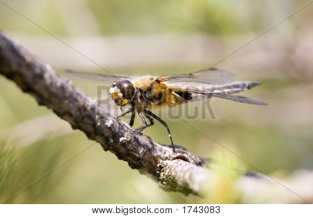 Dragonfly On A Pine Branch