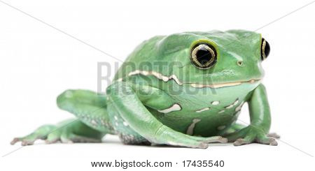 Waxy Monkey Leaf Frog, Phyllomedusa sauvagii, in front of white background