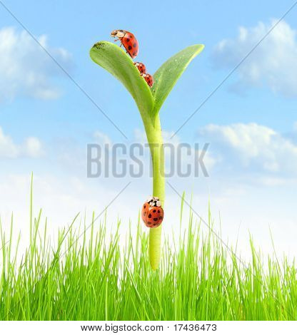 Ladybugs family running on a young green plant growing on the field. Business metaphor - success concept.
