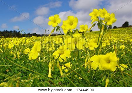 Landscape filled with yellow wild flowers in spring