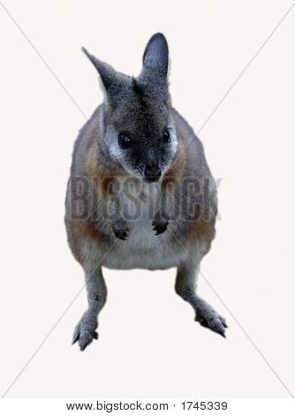 Cute Young Wallaby