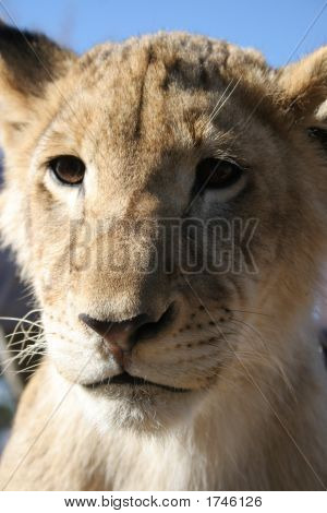 Lion Cub From South Africa