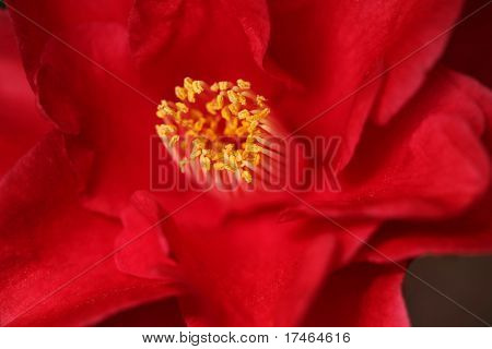 Red Camelia Rose With Extreme Depth of Field in Soft Light