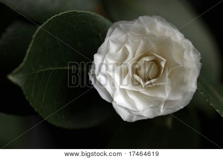 White Camelia Rose Offset With a Leaf in Soft Light