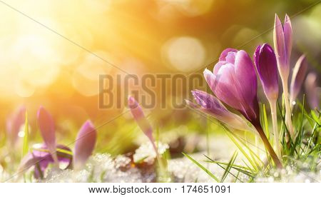 poster of Purple crocus flowers in snow awakening in spring to the warm gold rays of sunlight