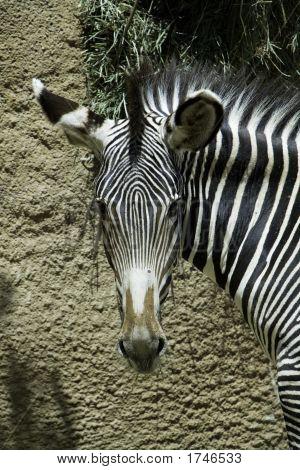 Grevy Zebra Stare