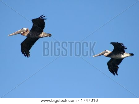 Eastern Brown Pelicans