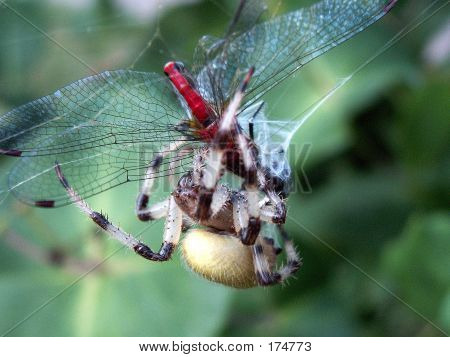 Spider Eating A Dragonfly