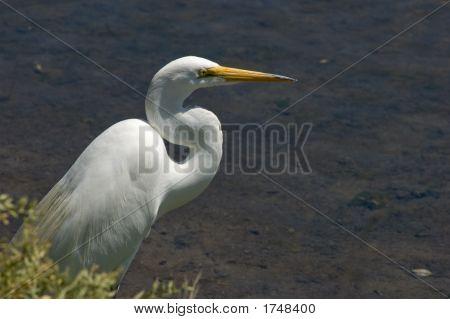 Great Egret In Bushes