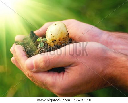 Hand holding plant, potato seed