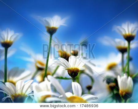 White marguerit, soft focus