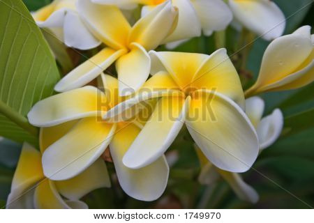 Frangipani Yellow White