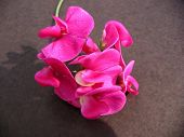 picture of sweetpea  - Photograph of a Sweetpea flower on a textured background - JPG