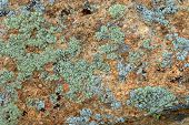 ?Yan Lichen On Rock Texture poster