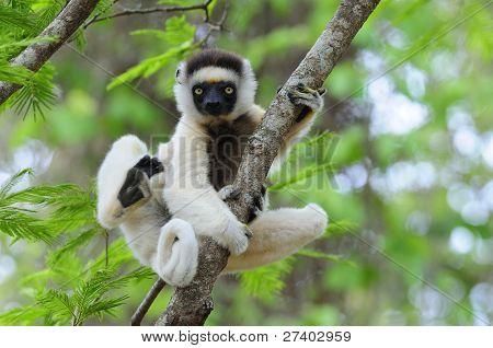 Baile Sifaka (Lemur)