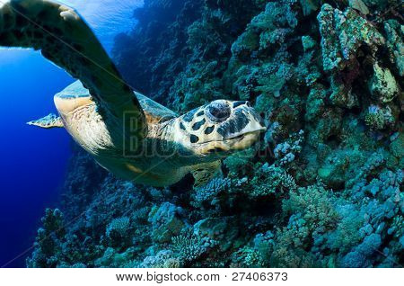 Face to face with sea turtle, Eretmochelys imbricata.