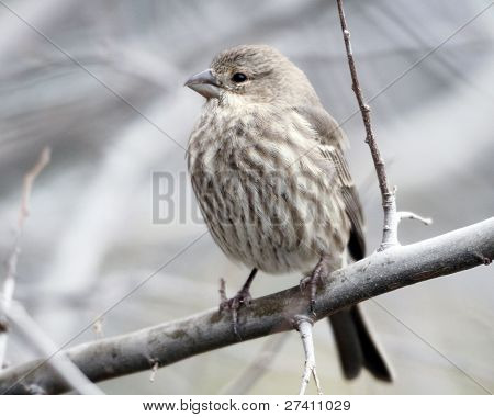 Female House Finch