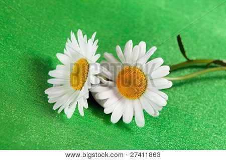 Fine Flowers  Ox-eye Daisy