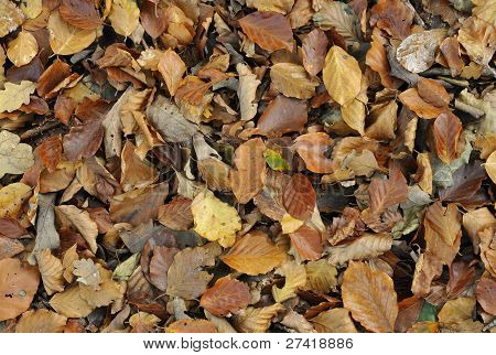 Autumn Beech leaves background