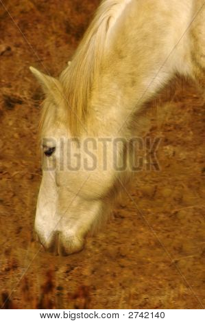 Porträt von einem weißen Pferd