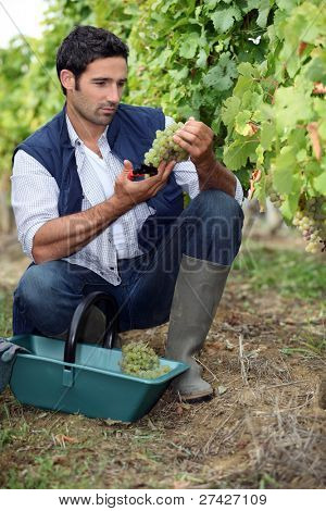 wine-grower picking grapes