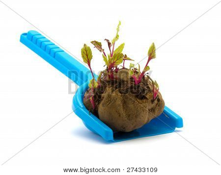 Sprouted Beets