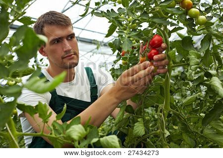Organic farmer checking his tomatoes in a greenhouse