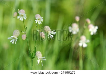Beautiful Dewy Flowers Of The Bladder Campion