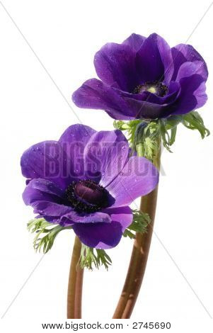 Purple Anemone Flower Isolated On White Background