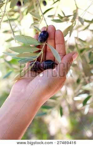 hand with olive branch -mano con ramo olive