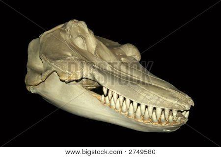 An Orca Skull