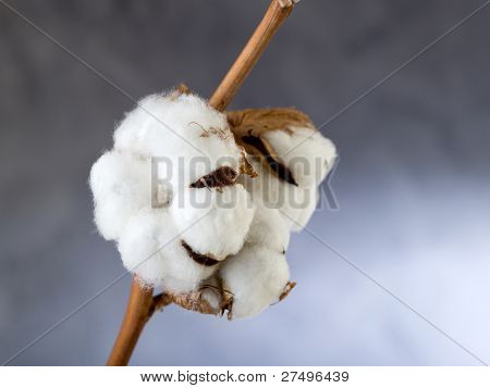 branch of cotton flower close up