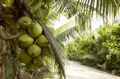 Coconut Tree With Coconut Fruits. poster
