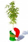 Marijuana Christmas gift. Medical or Recreational Marijuana Plant in a Christmas Gift box with a red poster