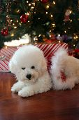 Christmas Dog. Small White Dog in a Red Velvet Christmas Dress.  Bichon Frise Christmas. White Puppy poster