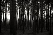Silhouettes Of Trees In A Pine Forest At Dusk. Landscape In The Countryside. poster
