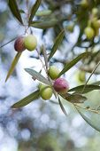 stock photo of olive trees  - olive branch - JPG