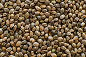 Macro Detail Of Marijuana Seed. Organic Hemp Seed. Hemp Seeds Background In Macro. Close Up. Many Ca poster