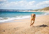 A Healthy And Active Yellow Labrador Retriever Dog Running Along A Deserted Sandy Beach During A Gam poster