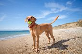 A Profile Of Fit And Healthy Labrador Retriever Dog Standing On A Quiet Sandy Beach In A Pet Vitalit poster
