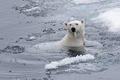 Polar Bear (ursus Maritimus) Swimming In Arctic Sea Close Up poster