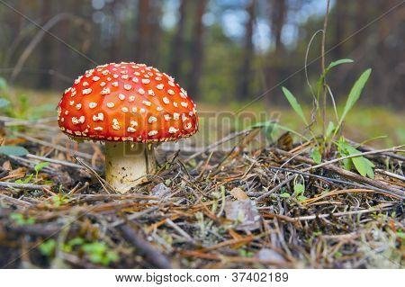 Amanita. Red Mushroom .