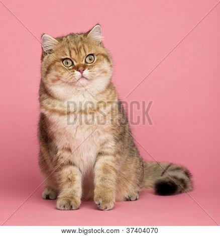 Golden shaded British shorthair, 7 months old, sitting against pink background