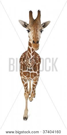 High angle view of Somali Giraffe, commonly known as Reticulated Giraffe, Giraffa camelopardalis reticulata, 2 and a half years old walking against white background