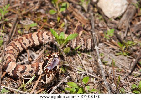 Juvenile Cottonmouth (Agkistrodon piscivorus)
